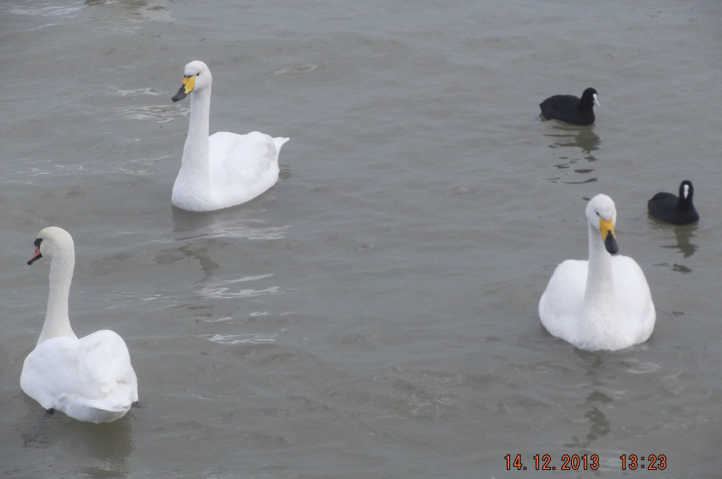 Желтоклювые лебеди